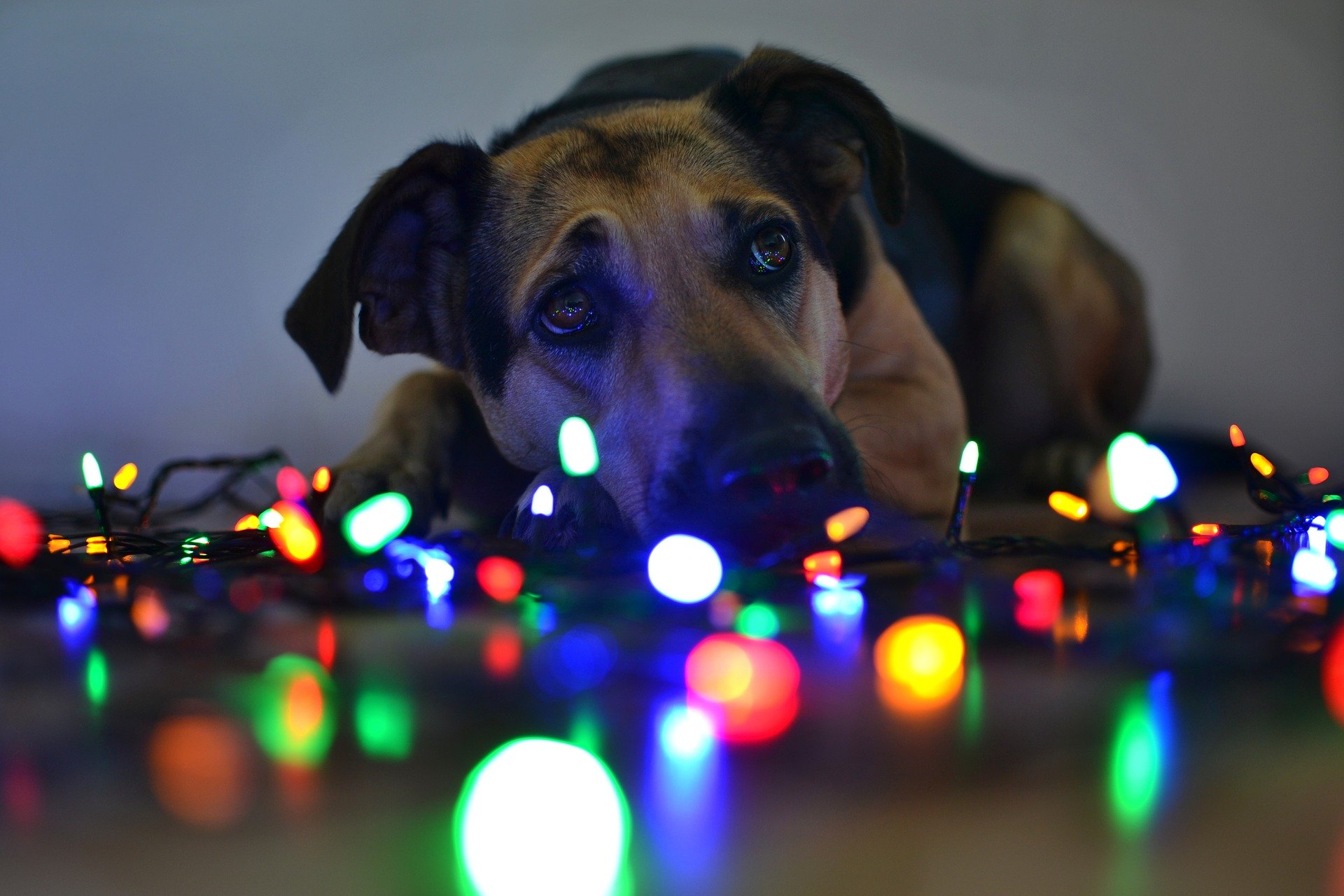 christmas-lights-dog